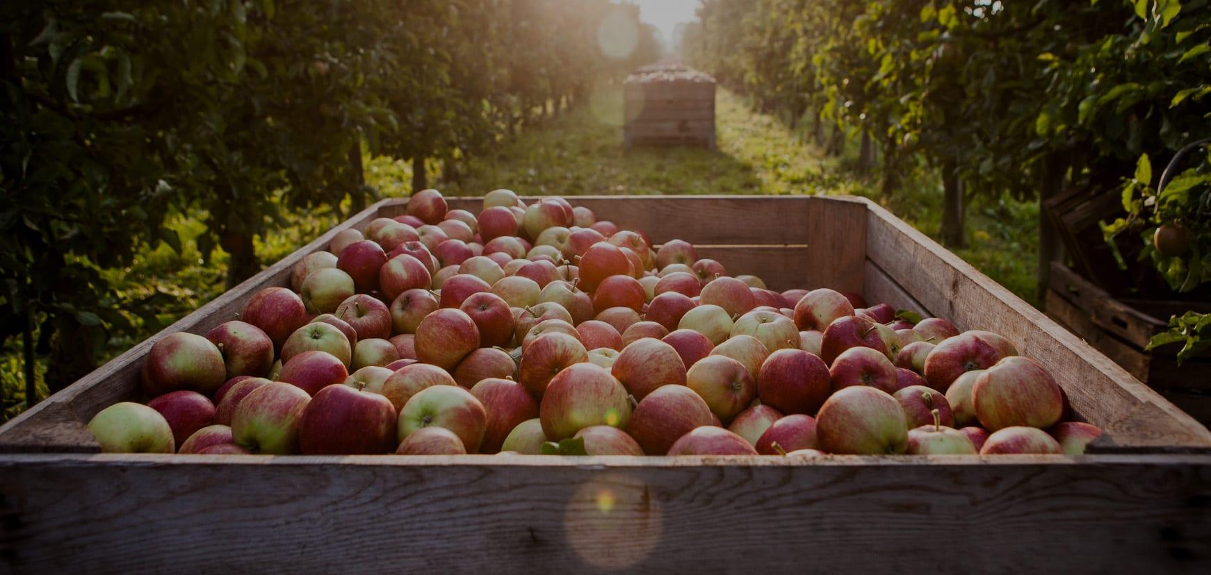 Apfelkiste im Gegenlicht