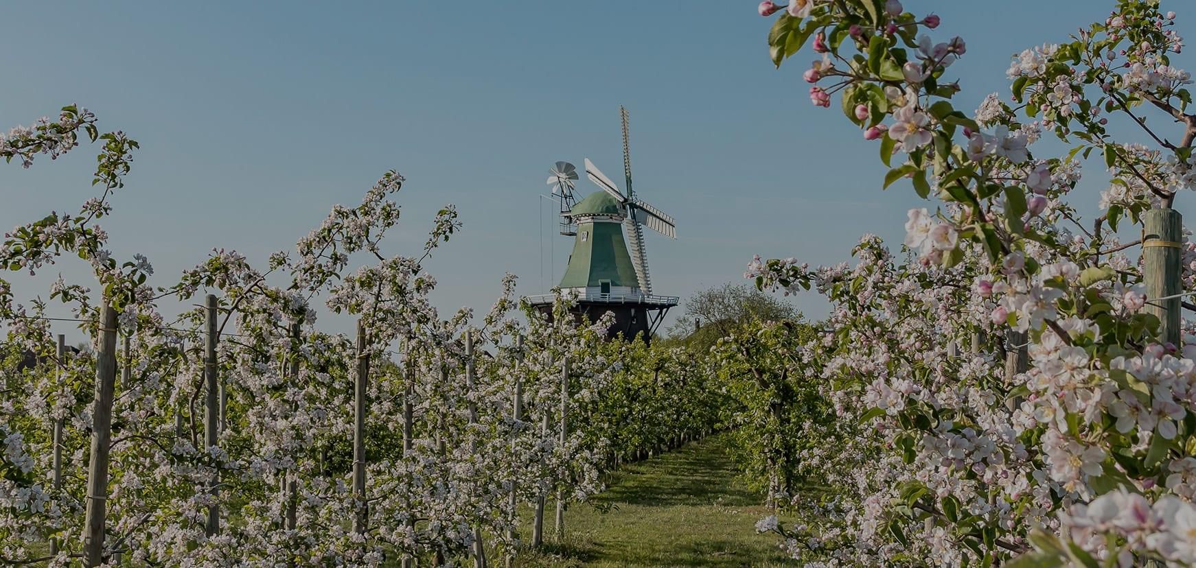 Windmühle Venti Amica in Apfelblüte im Alten Land