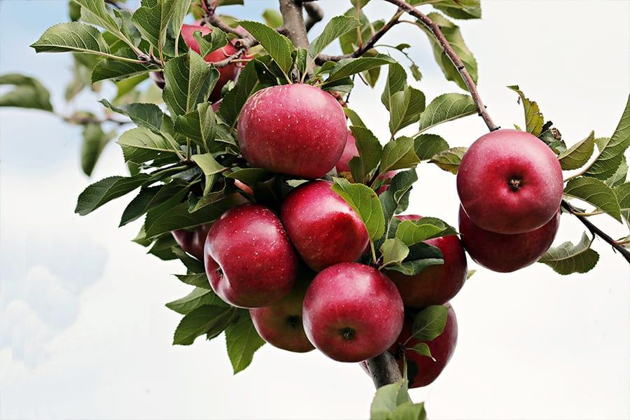rote Altländer Äpfel am Baum