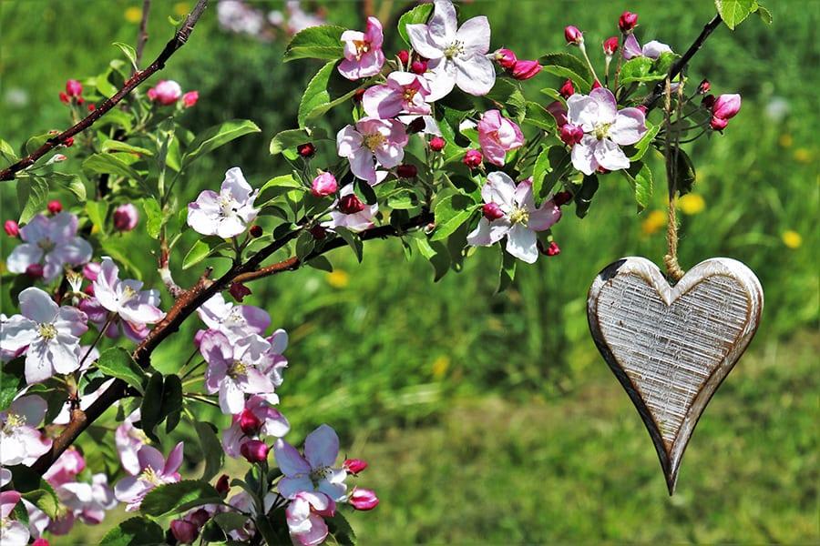 Altländer Apfelblüte mit Herz