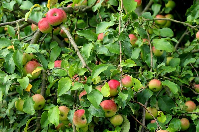 Altländer Äpfel am Baum