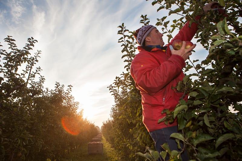 Erntehelfer bei der Apfelernte im Alten Land