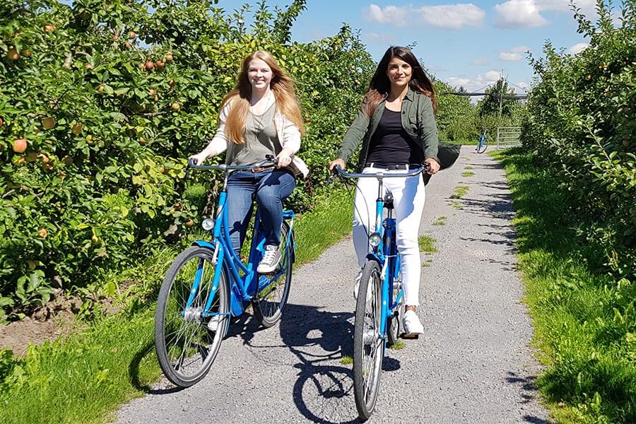 Radfahrer durch Apfelplantagen im Alten Land