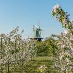 Venti Amica Hollern mit Apfelblüte im Alten Land