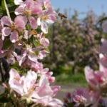 Apfelblüte mit Biene im Alten Land