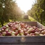 Apfelkiste im Gegenlicht im Alten Land während Apfelernte
