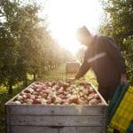 Erntehelfer im Alten Land während Apfelernte