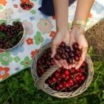 Kirschen beim Picknick im Alten Land