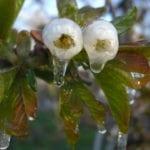 Eisblüte im Alten Land