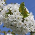 Kirschblüten im Alten Land