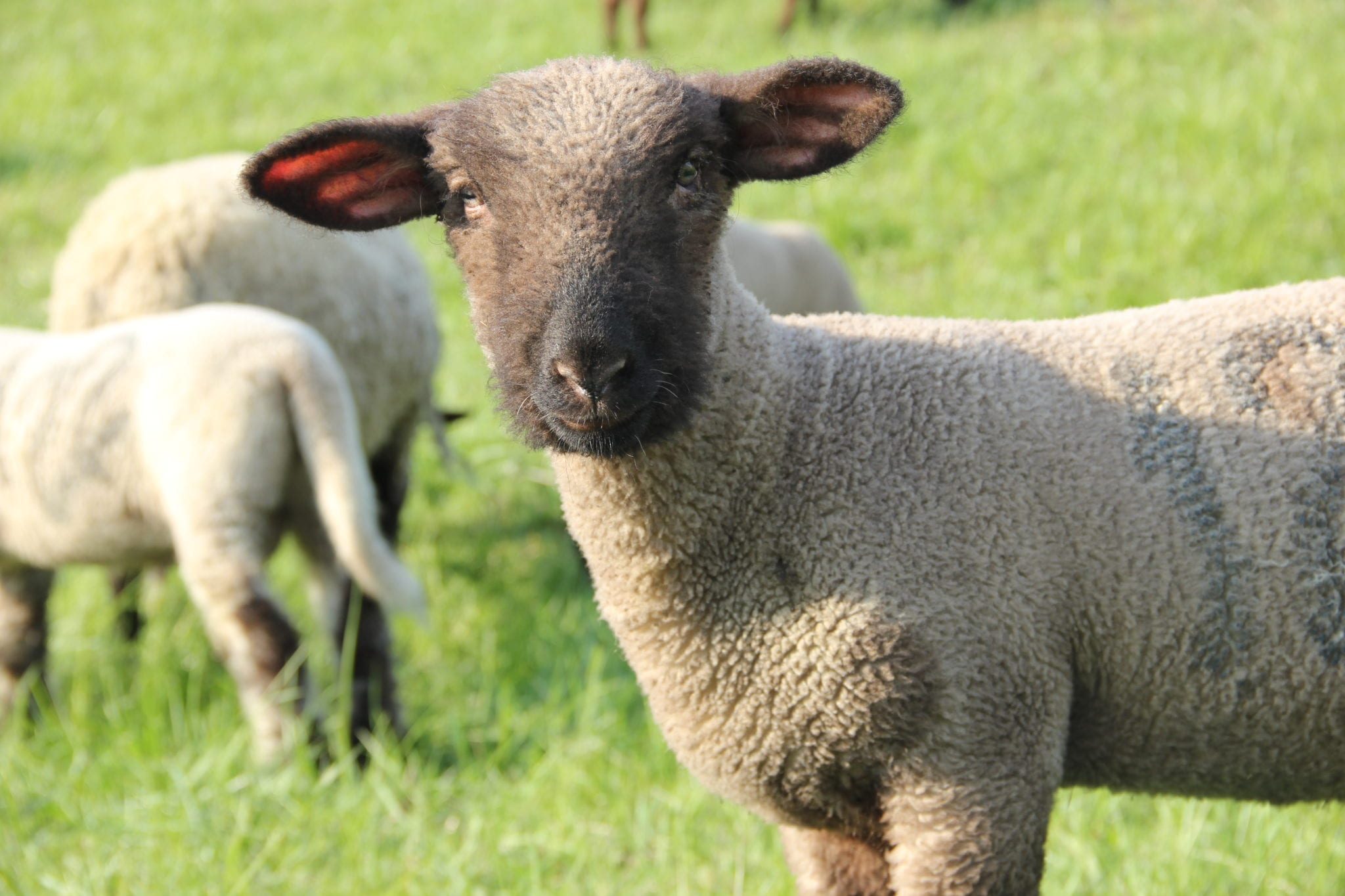 Schaf im Alten Land am Deich