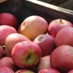 knackfrische Altländer Äpfel
