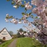 Zierkirschblüte am Lühedeich - Tourismusverein Altes Land e.V.